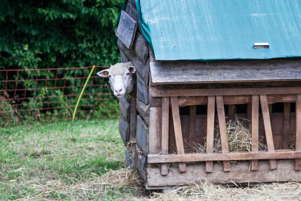 Ein Schaf blickt aus dem Stall